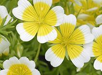 Meadowfoam Flower Seed Oil