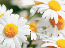 Chamomile and Cornflower Extracts