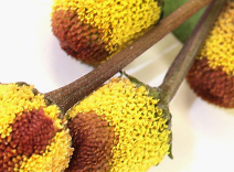 Splianthes Acmella Flower