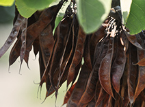 Carob Tree Extract
