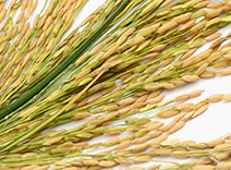 Rice Kefiran