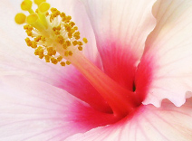 Hibiscus Seed Extract