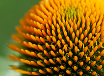 Coneflower Extract