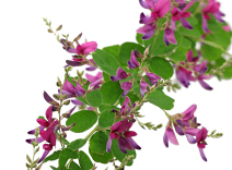 Bushclover Flower Extract