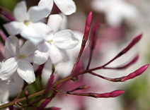 Jasmin Sambac, Muguet, Violet leaf, Orange flower