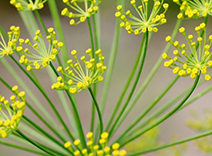 Sea Fennel and Flaxseed Extracts