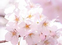 Sakura Tree Blossom